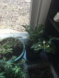 jasmine and woodthrush